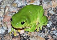 Frog, Australian Green Tree