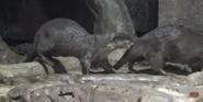 Georgia Aquarium Otter