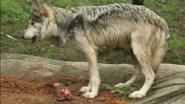 Cincinnati Zoo Wolf