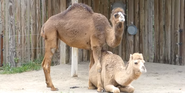 Columbus Zoo Camel