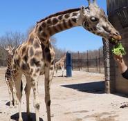 Dickerson Park Zoo Giraffe