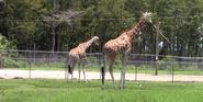 Lion Country Safari Giraffe