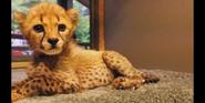 SDZ TV Series Cheetah