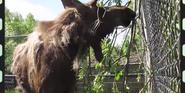 Alaska Zoo Moose