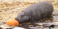 Brookfield Zoo Hippo