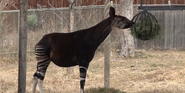 Denver Zoo Okapi