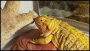 Noah's Ark Iguanas Dwarf Geckos Webfooted Geckos Collared Lizards Anoles