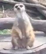 Oakland Zoo Meerkat