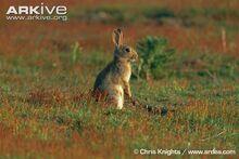 Rabbit-standing-on-hind-legs