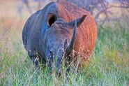 Rhino Grazing AT Nightfall