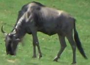 San Diego Zoo Safari Park Wildebeest