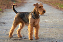 Airedale-Terrier-5