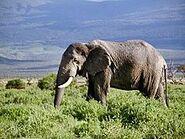 Elephants Woolly Mammoths and Mastodons