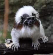 Pittsburgh Zoo Cotton-Top Tamarin