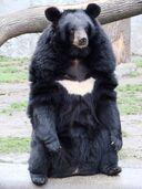 Ursus thibetanus 3 (Wroclaw zoo)