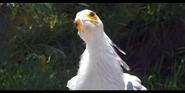 San Diego Zoo Secratary Bird