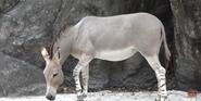 Zoo Miami Donkey