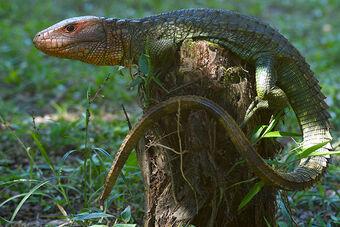 Image result for caiman lizard