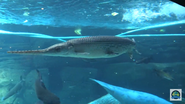 Cincinnati Zoo Alligator Gar