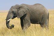 Elephant, African Bush (Animals)