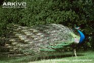 Male-Indian-peafowl-calling