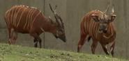 Milwaukee County Zoo Bongos