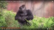 Saint Louis Zoo Gorilla
