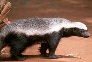 1-honey-badger-moswe590a