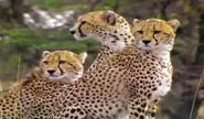 BCD Cheetahs