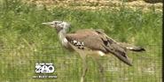 Blank Park Zoo Kori Bustard