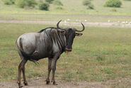 Blue-wildebeest-connochaetes taurinus-1