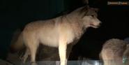 CMONH Wolf