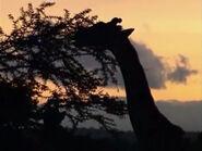 HugoSafari - Giraffe04