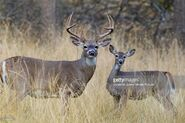Male and female white-tailed deer