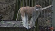 Memphis Zoo Paras Monkey