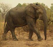West African Bush Elephant