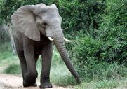 557048-to-match-feature-demographics-africa-conflict With Elephants