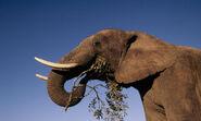 African Elephant 7.27.2012 hero and circle HI 53941