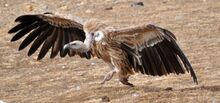 Himalayan Vulture running