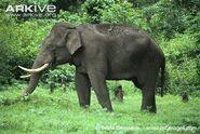 Indian-elephant-bull