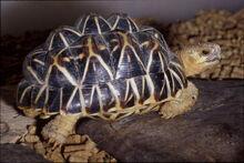 Indian star tortoise Geochelone elegans