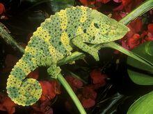 Meller-chameleon 628 600x450