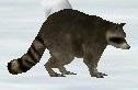 Raccoon-wildlife-park-2