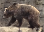 Saint Louis Zoo Grizzly Bear