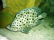 White spotted gr