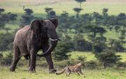 Cheetahs and Elephants