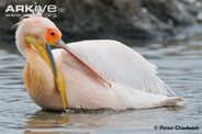 Great-white-pelican-preening