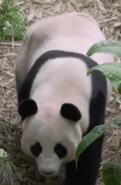 Singapore Zoo Panda