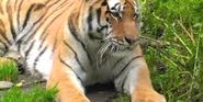 Alaska Zoo Tiger