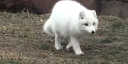 Detroit Zoo Arctic Fox